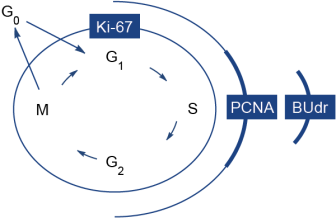 Immune response monitoring using Ki-67 marker to identify cells in active phases